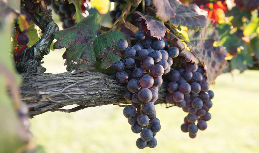 Grapes ripening in the vineyard